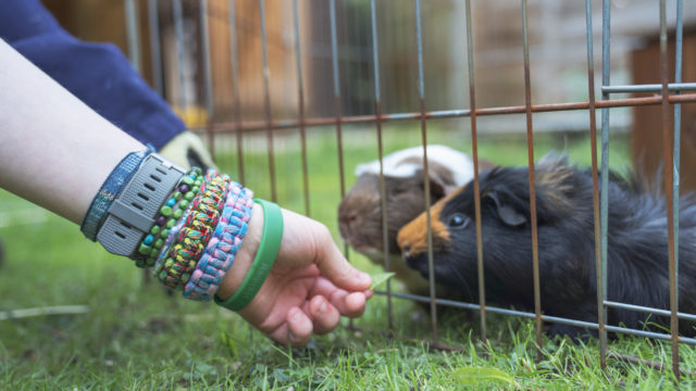 Hands feeding two guinea pigs leaves