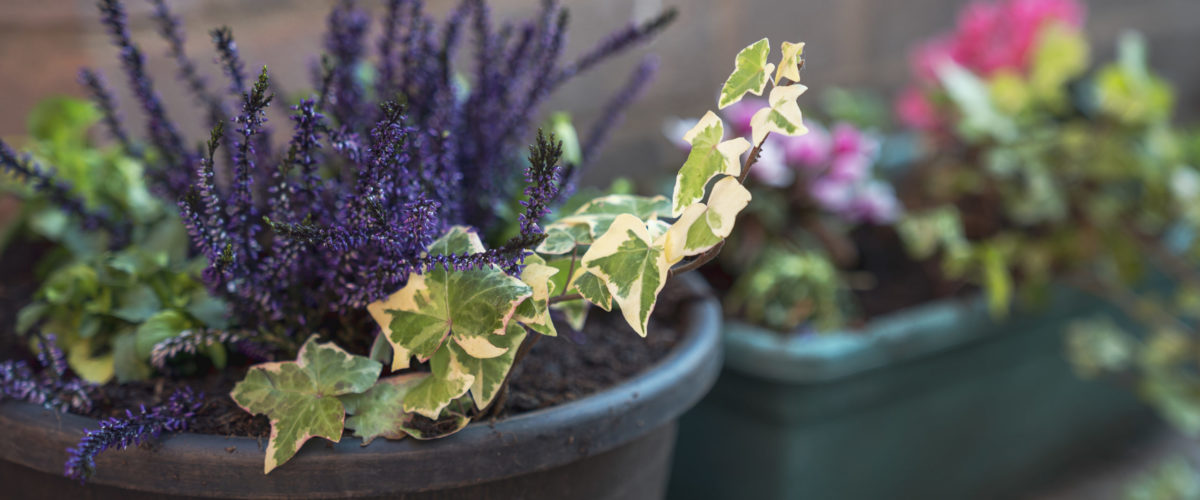 Purple flowers and green leaves in a planter at horticulture